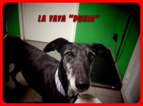 Adopción galgos, galicia, collares de seguridad para perros